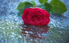 Rose in Rain 07302016